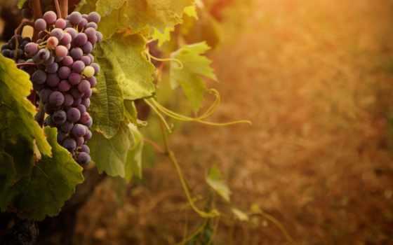 виноград, скопление, высоком, винограда, качестве, базе, msc, листва, нояб, лист,