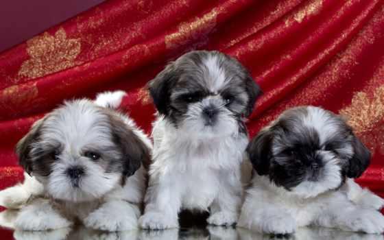 shih, tzu, ши, тцу, cachorros, собаки, cachorro, бесплатные, щенок, zhivotnye,