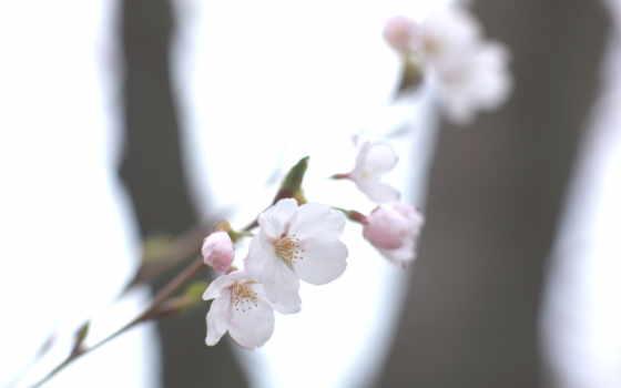 Сакура, страница, рисунки