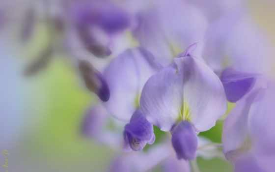 , flowers, tech, cvety, makro, purple, wisteria,