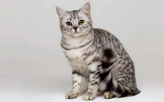 кот, серый, white, fone, котенок, американский, shorthair, объекты, алматы,