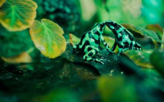 лягушки, листва, пятнистые, зеленые, лягушка, swamp, поцелуй,