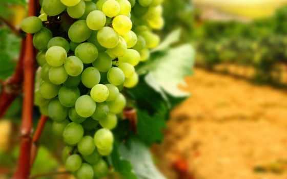виноград, зелёный, грона, вино, винограда, скопление, blue, red, листва,