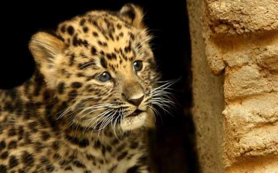 леопард, zhivotnye, леопарды
