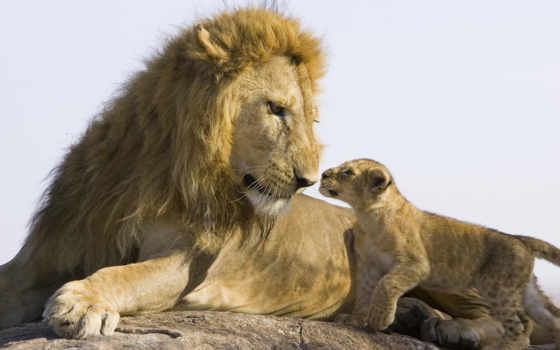 lion, small, baby, львенок, lions, детёныш, little, one,