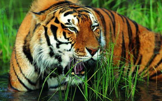 packages, тигр, тигры, nights, andaman, порт, blair, kerala, linden, диких,