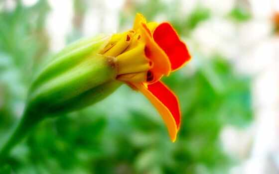 цветы, фон, открыть, размытость, бутон, пион