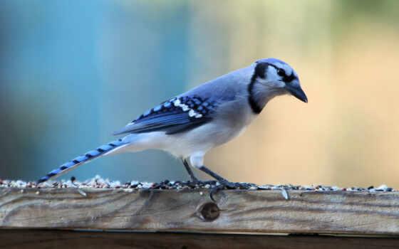 джей, blue, titmouse, птица, который, заснеженный, branch