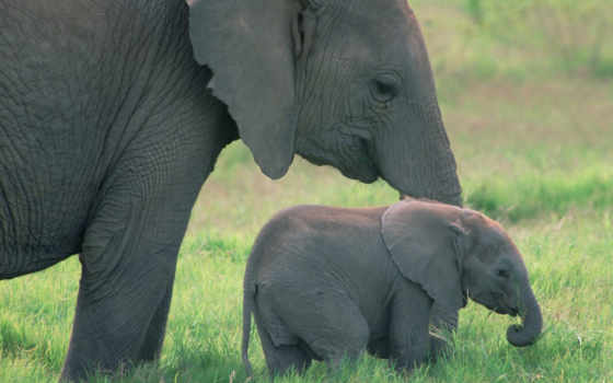 поле, слоны