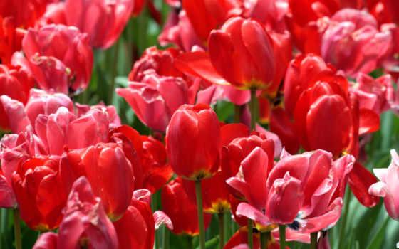 flores, rojos, petalos