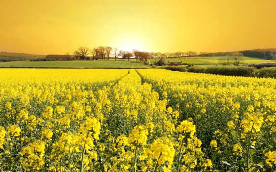 поле, цветы, желтые