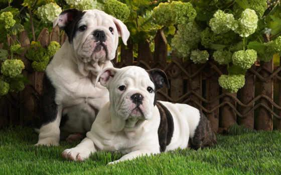 english, bulldog, щенки