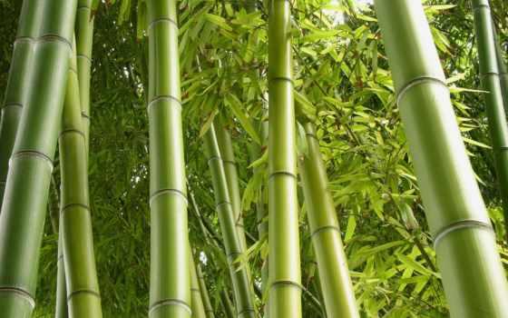 бамбук, shui, дома, счастья, бамбука, maintenance, фен, feng, растение,