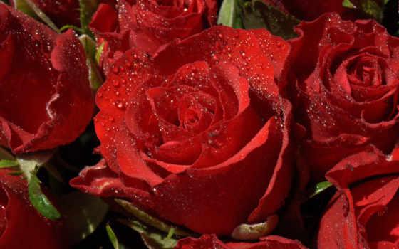 розы, красные, каплях,