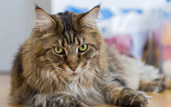 кот, breeds, cats, long, порода, волосы, pawesome, that, мэн,