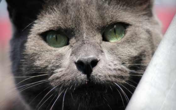 blauwerus, cutecat, beautifulcat, closeup, кот, greycat, hive, world, flickr, photos,