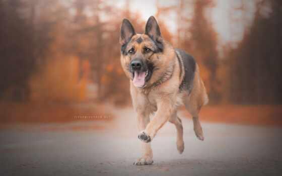 animal, ошейник, pantalla, собака, run, овчарка, correr, pastor, foto, gratis, german