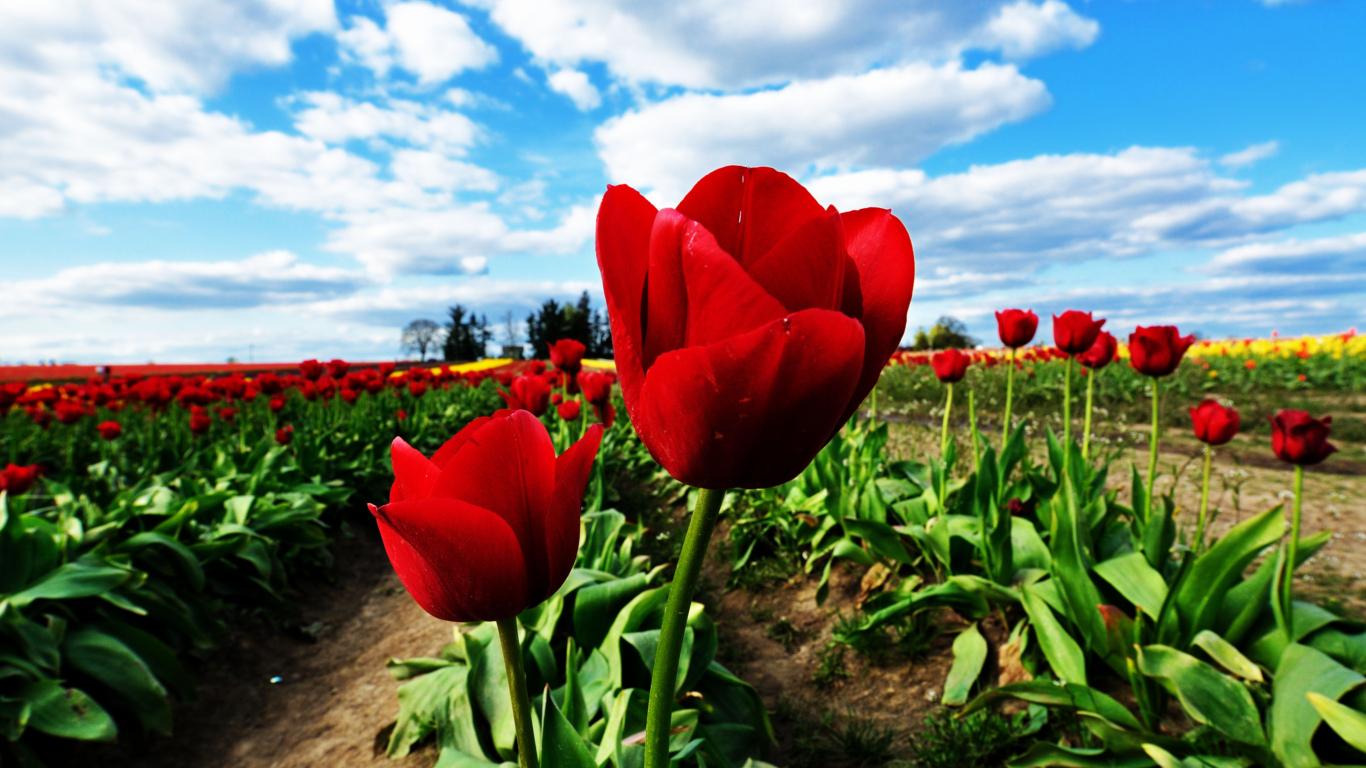 Тюльпан смотреть онлайн бесплатно в хорошем качестве 22 фотография