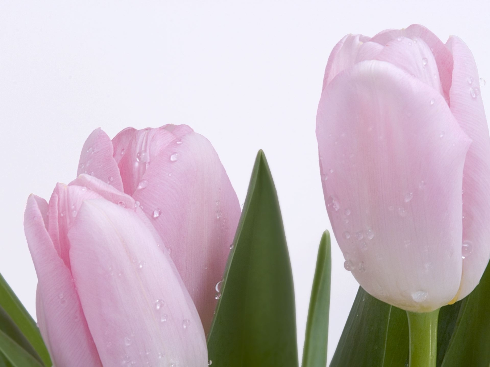 Тюльпан смотреть онлайн бесплатно в хорошем качестве 27 фотография
