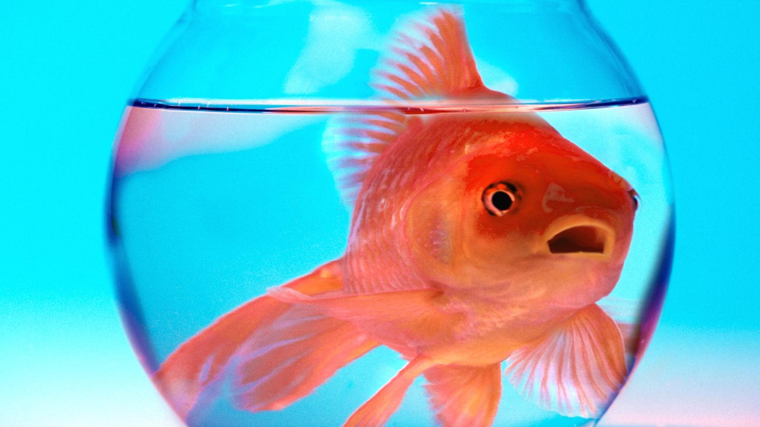 Обои Аквариум, рыбка. Животные foto 16