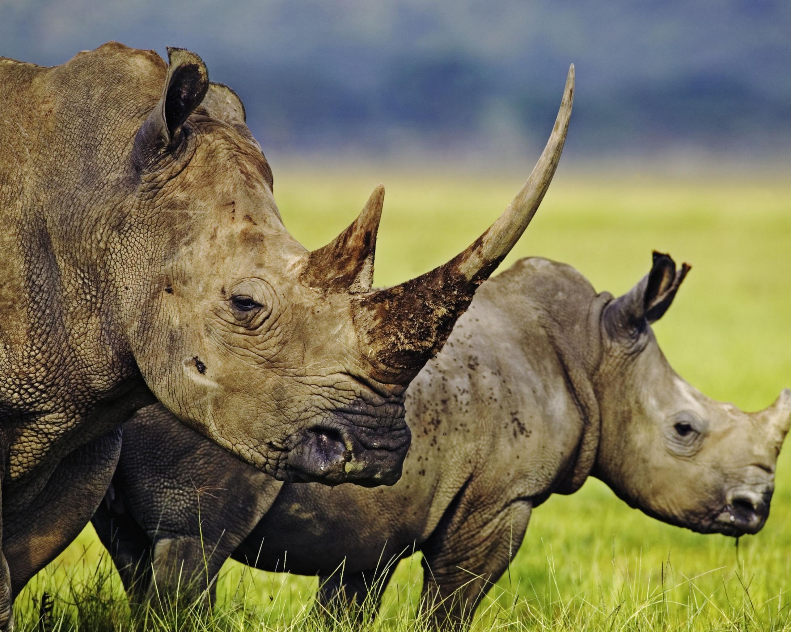Обои носороги. Животные foto 16