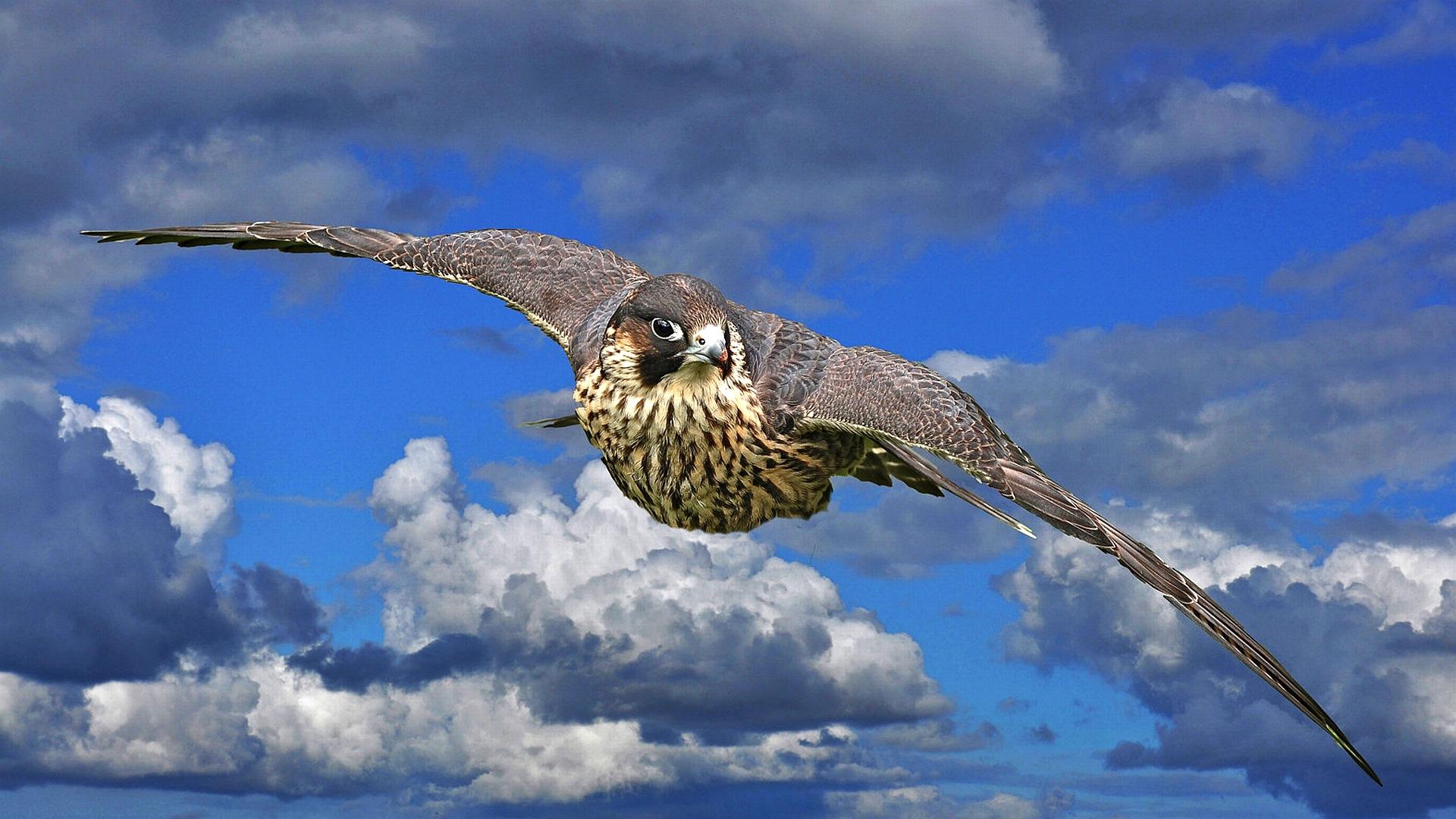 природа птица небо Ястреб без смс