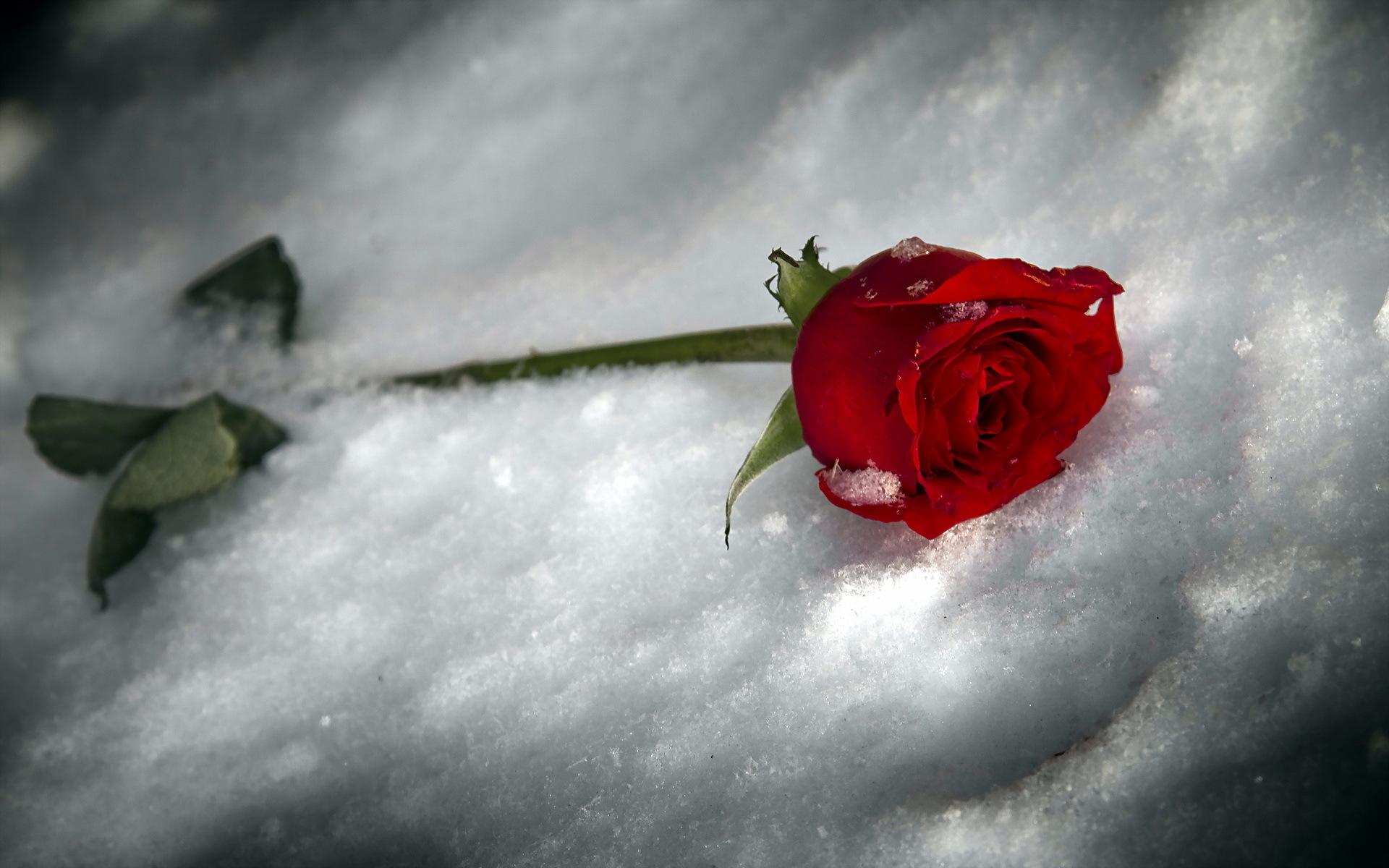 Картинки цветы на снегу красивые, поздравление открытки картинки