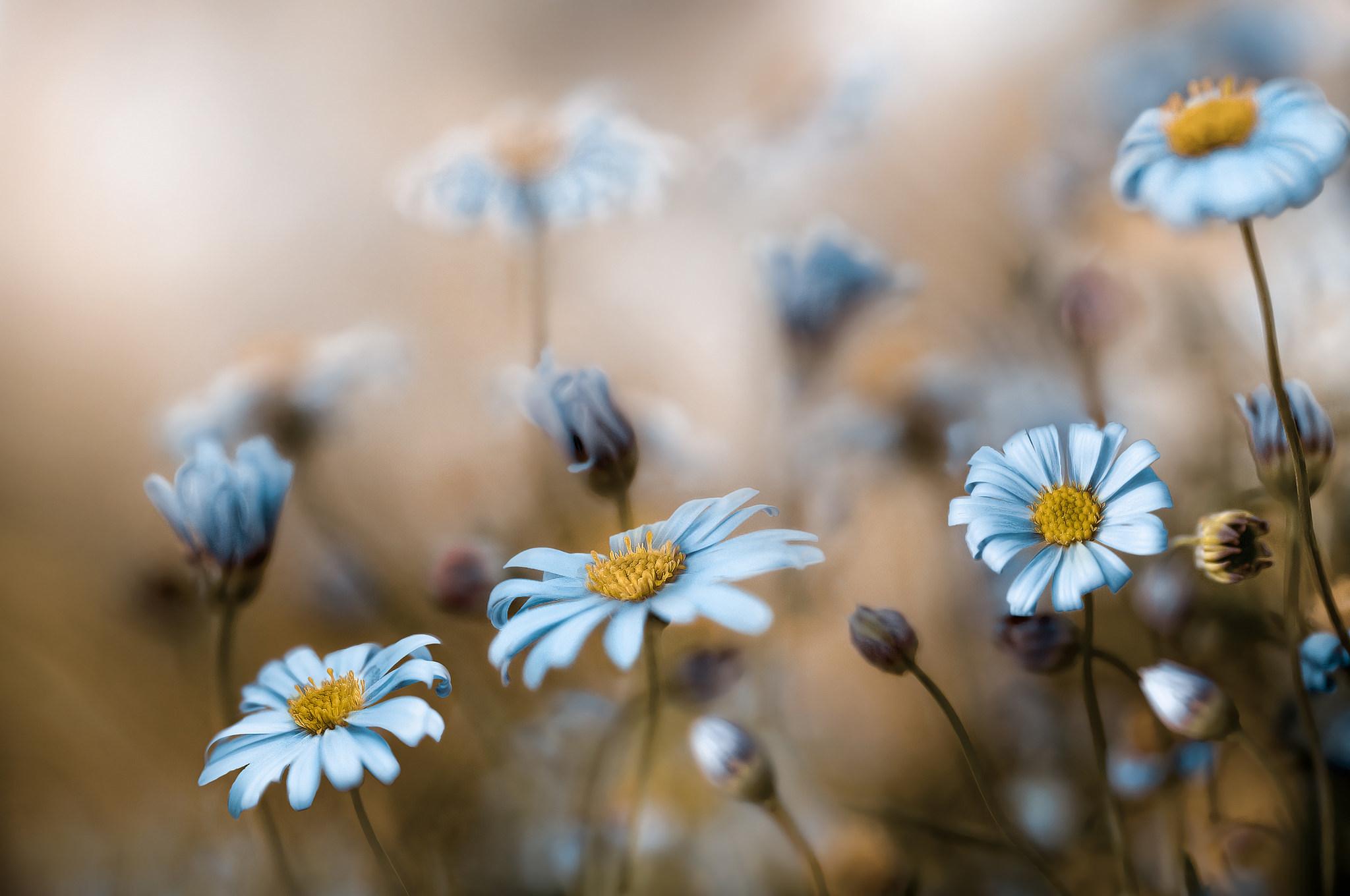 синий цветок ромашка макро загрузить