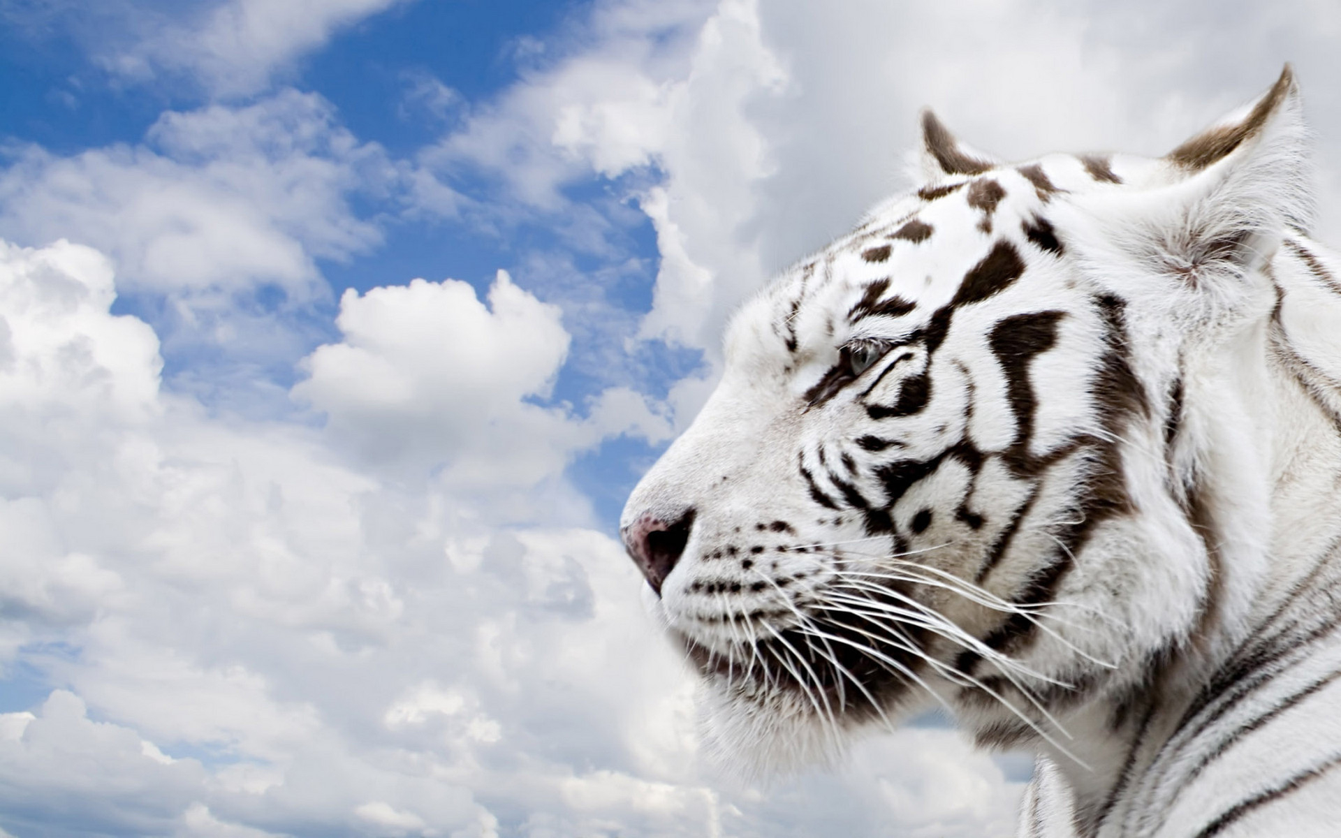 природа животные кот белый nature animals cat white  № 102832 загрузить
