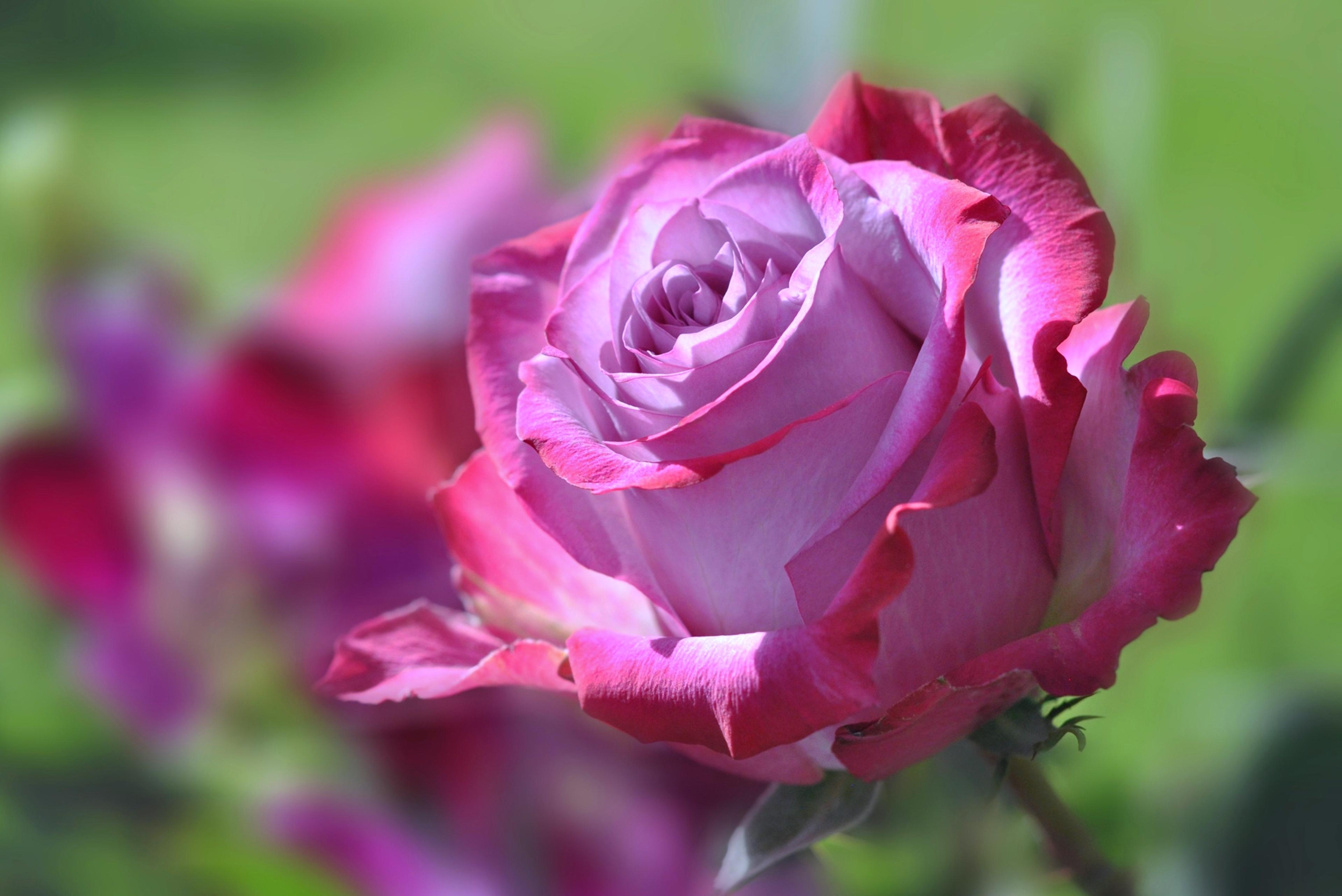 Розы картинки высокого качества, помнишь тебя любила