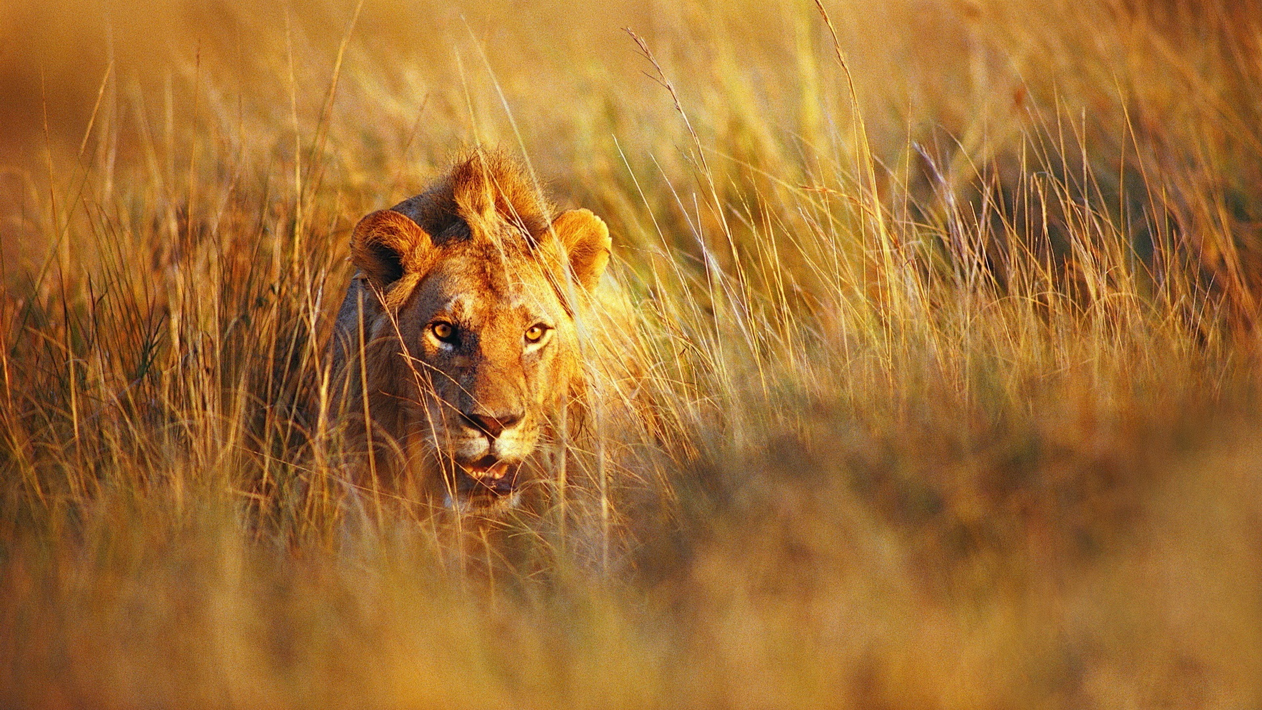 природа животное лев без смс