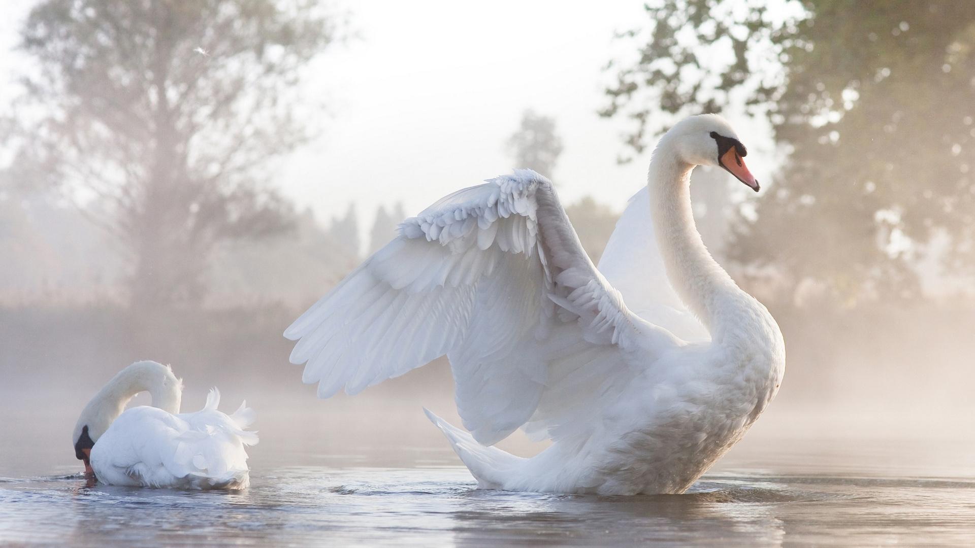Картинки лебеди картинки лебедя