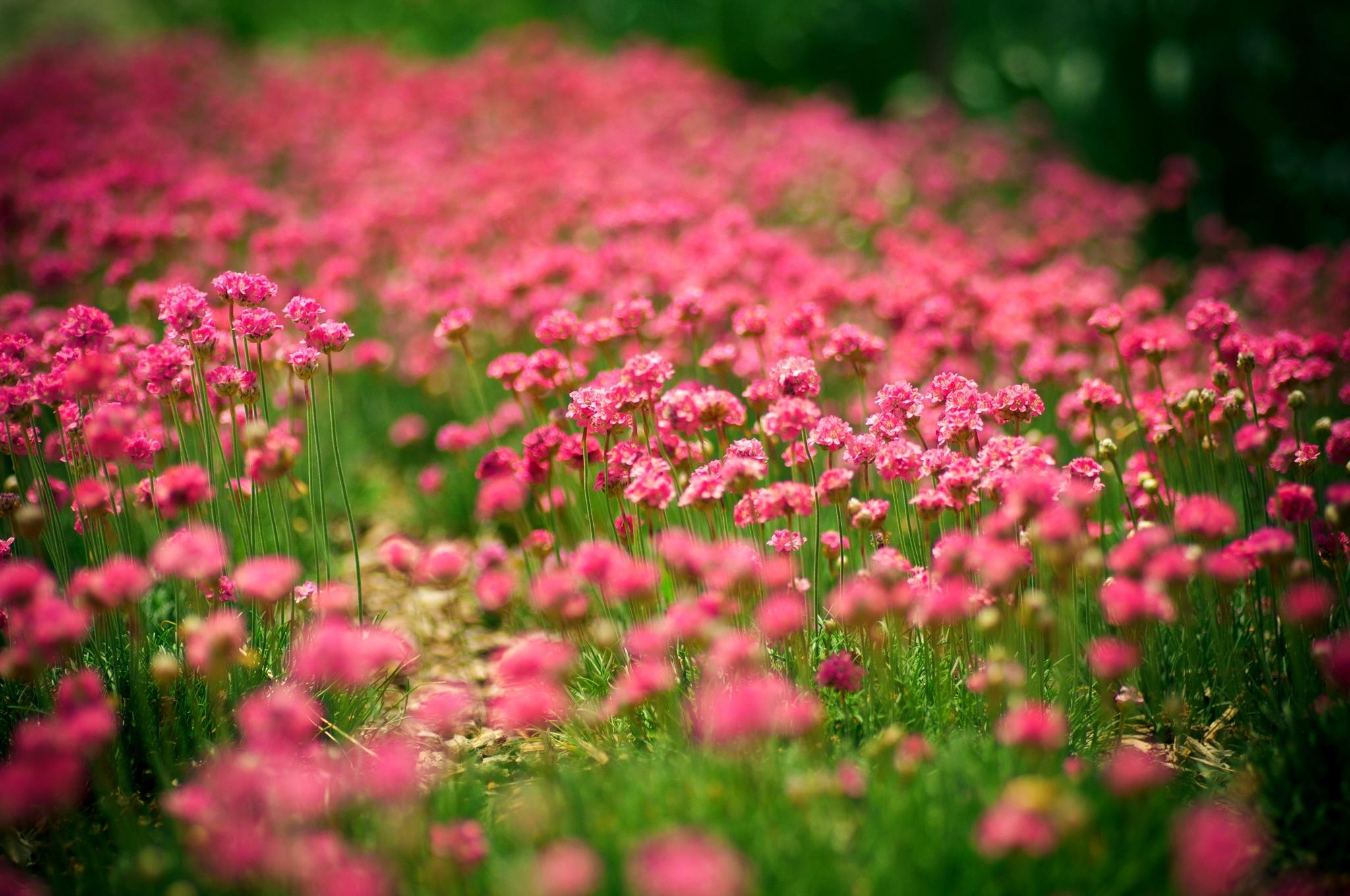 розово-фиолетовая поляна без смс
