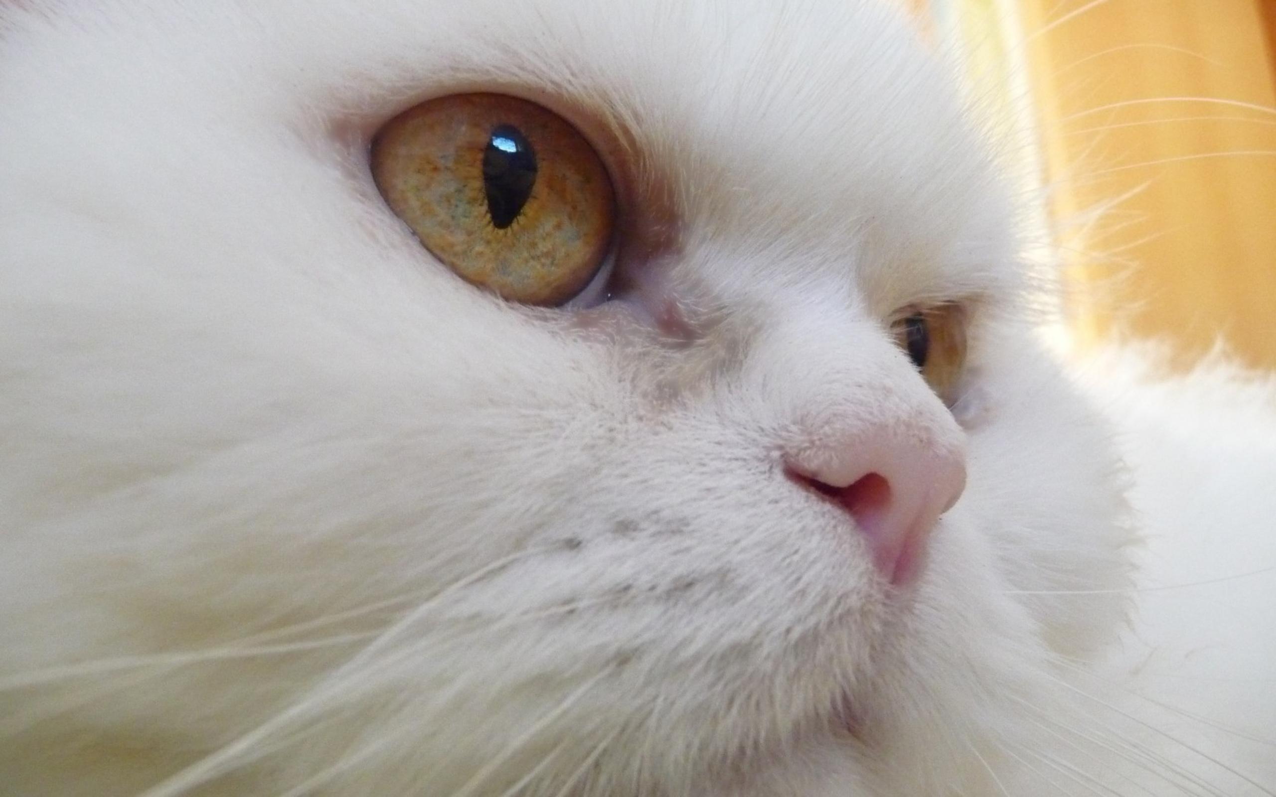 Белый кот разные глаза  № 2956449  скачать