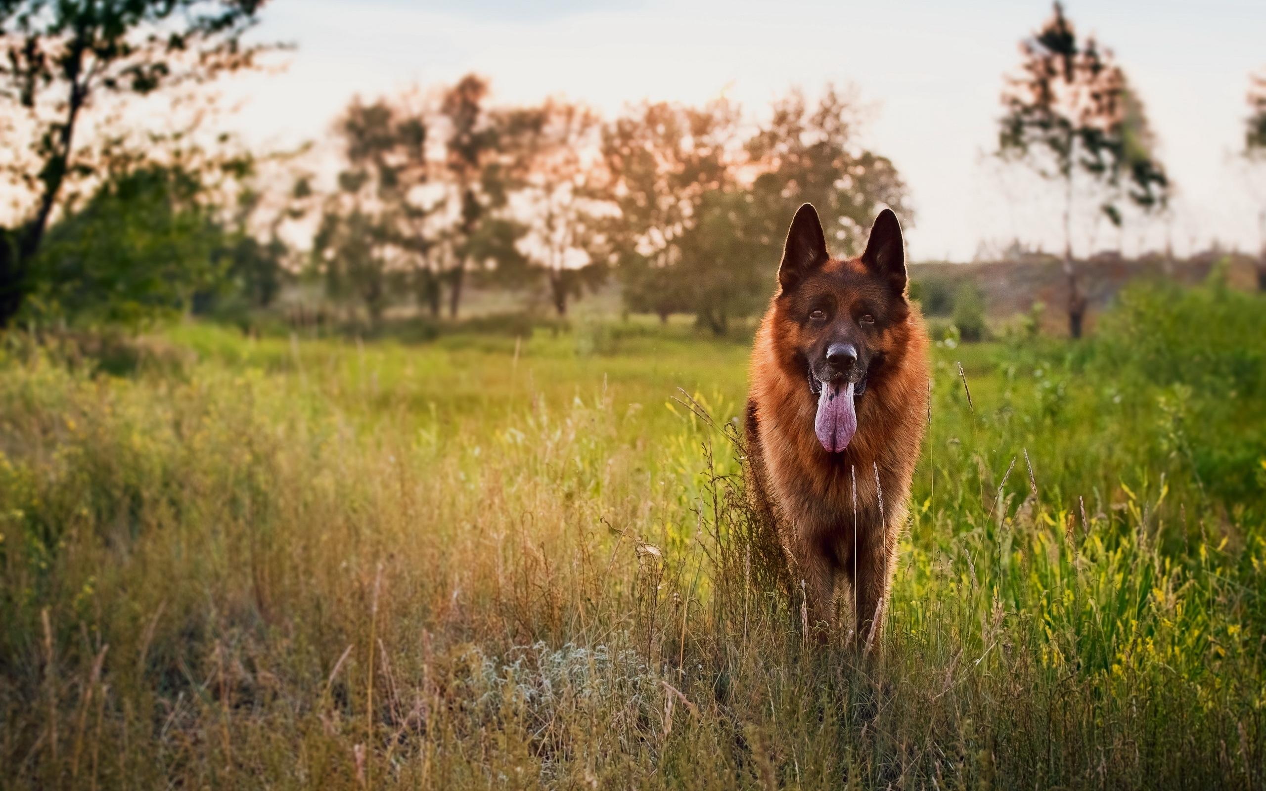 Овчарка собака пес  № 1980985 загрузить