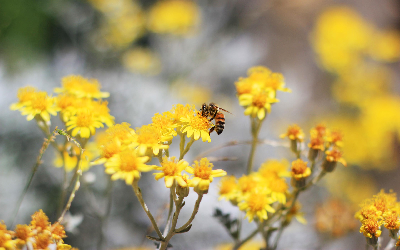 Пчелы цветы желтые без смс