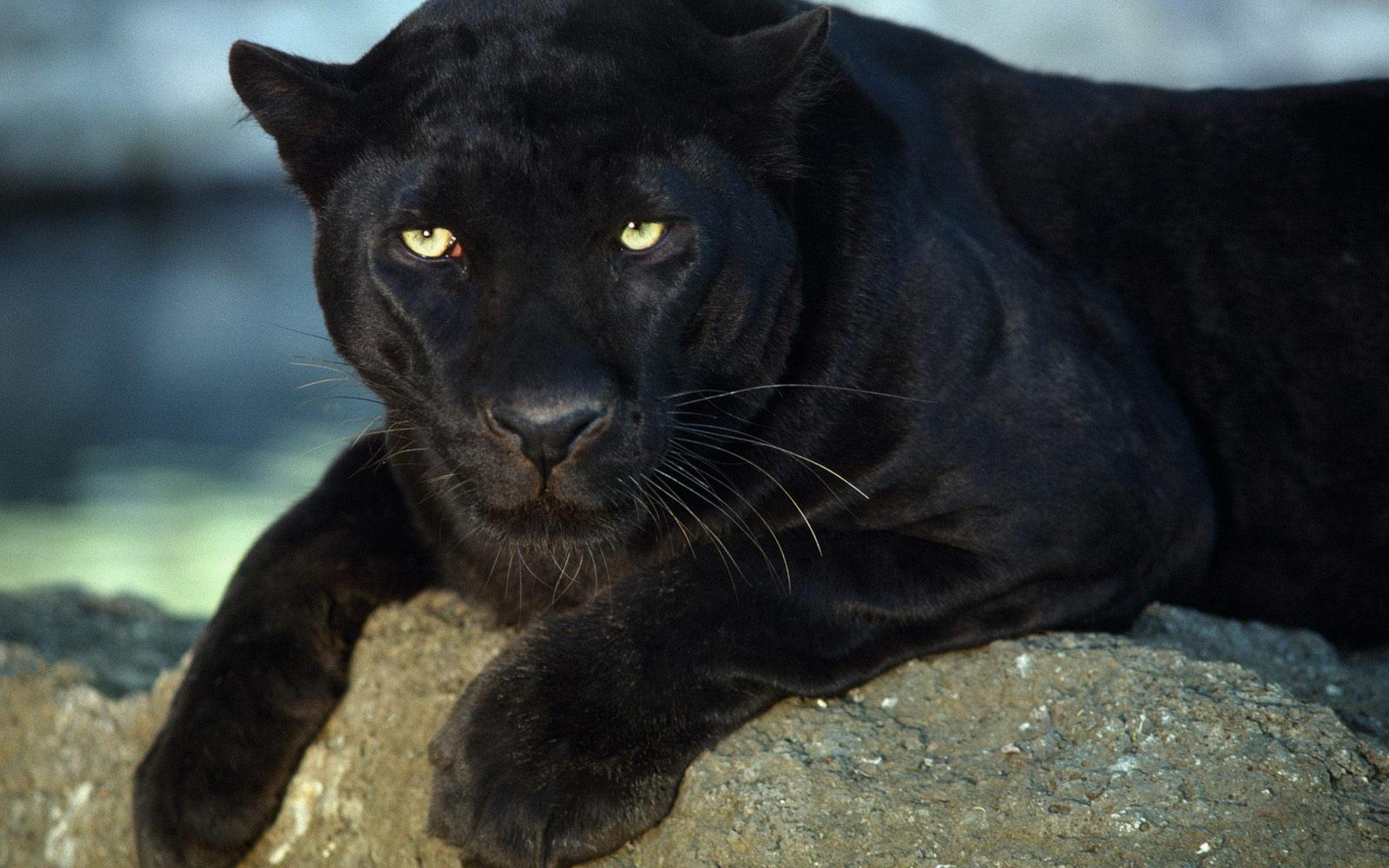 Рисунки для, картинки пантера черная животное