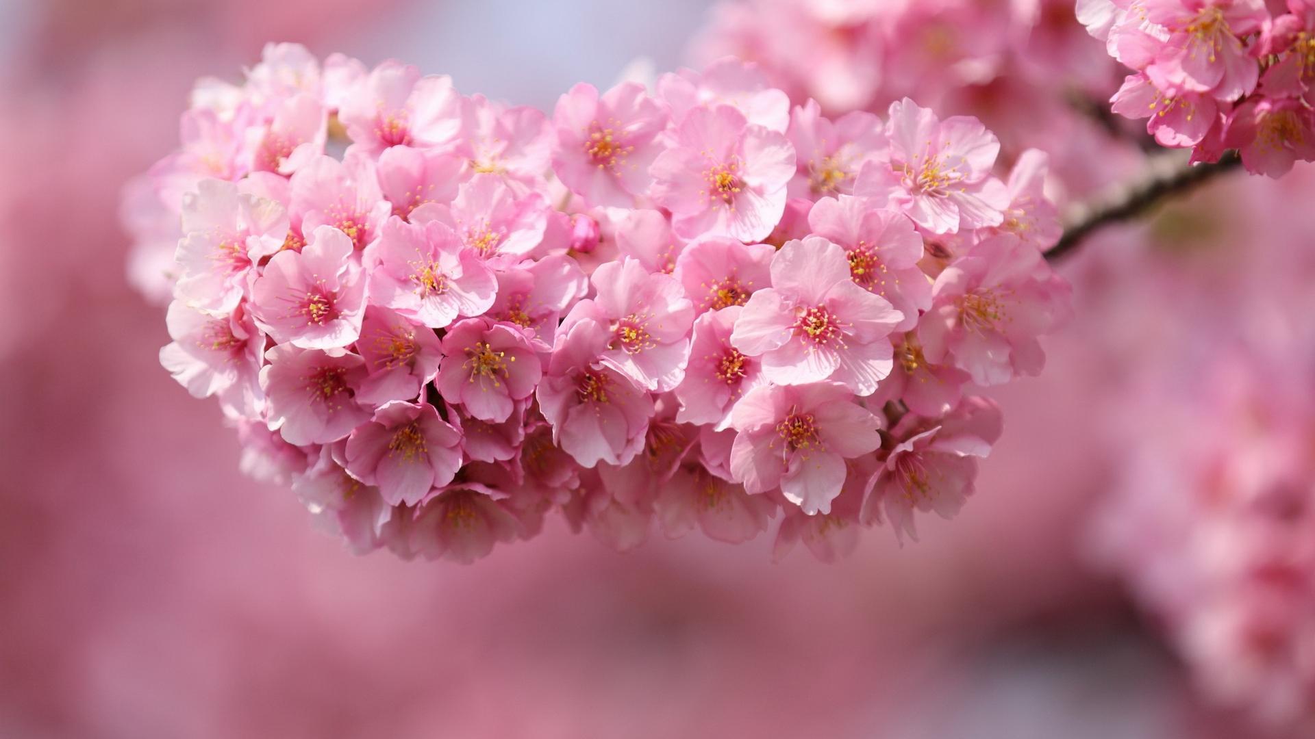 Розовое цветение бесплатно