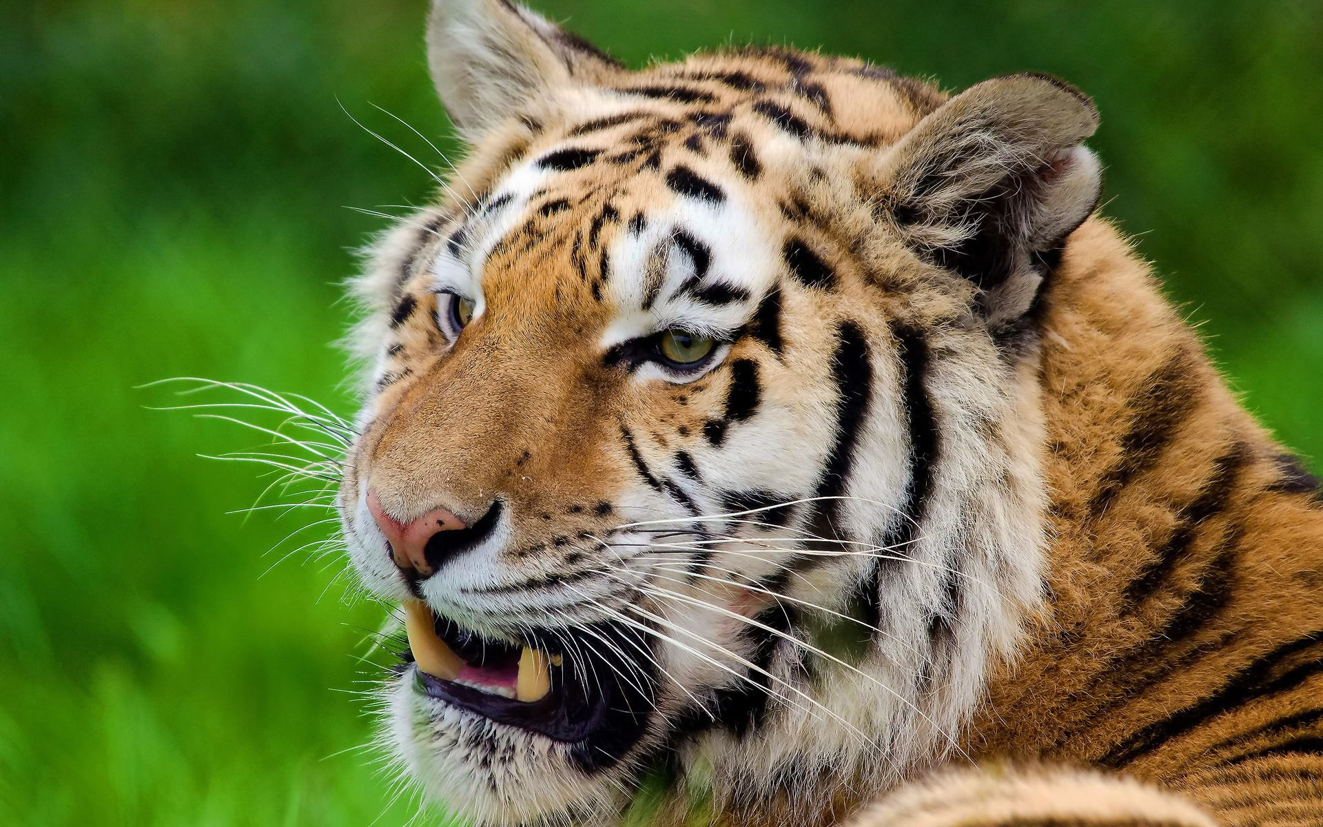 тигр оскал морда без смс