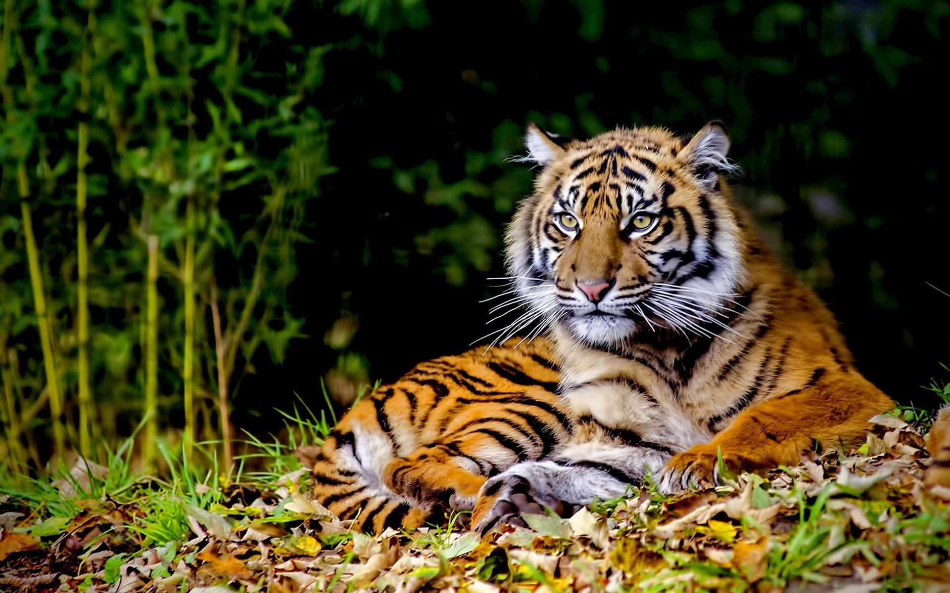 никогда тигры картинки высокого качества стальная броня