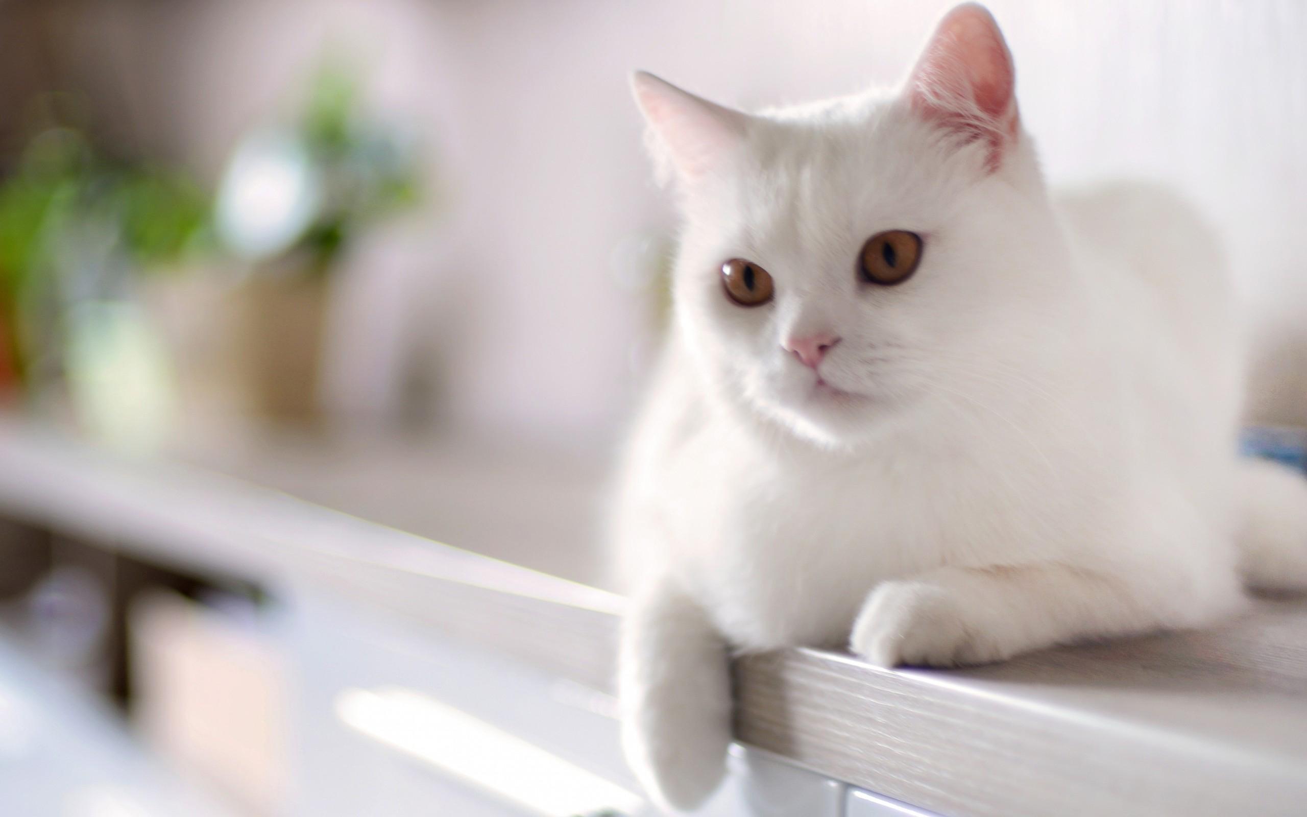 Кот белый картинки