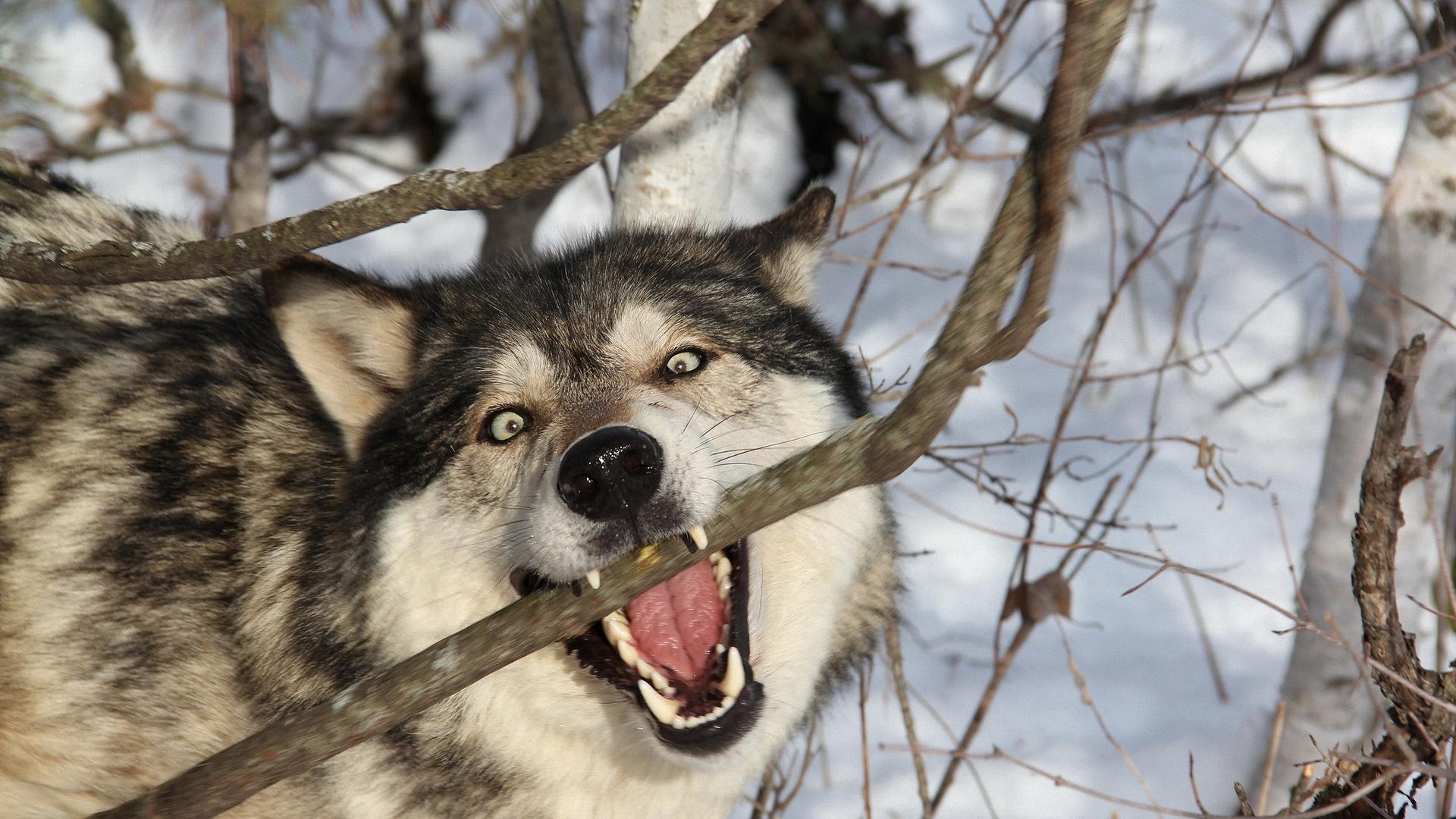 Смешной волк фото, прикольные