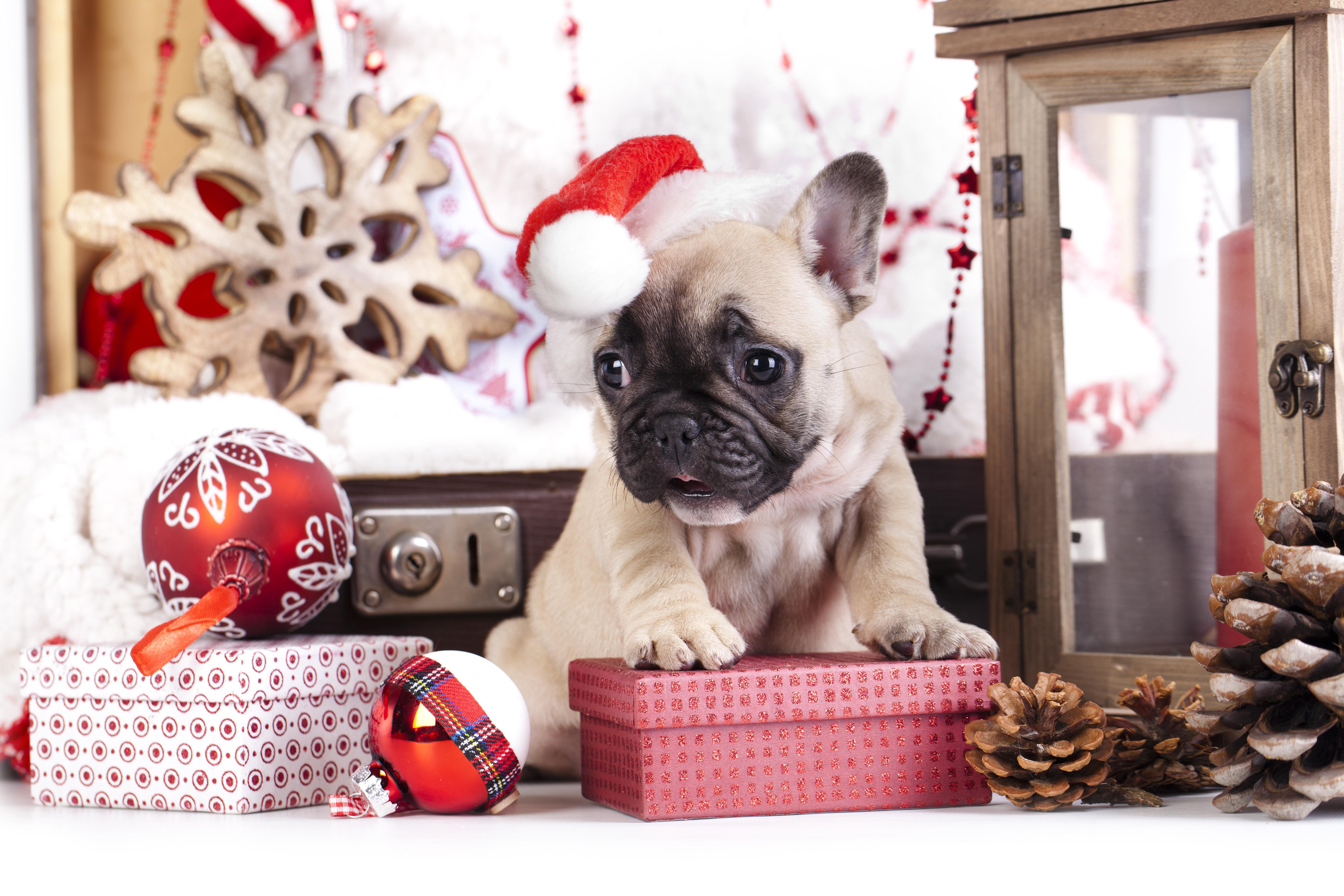 собачка в новогодней шапочке  № 1301978 бесплатно