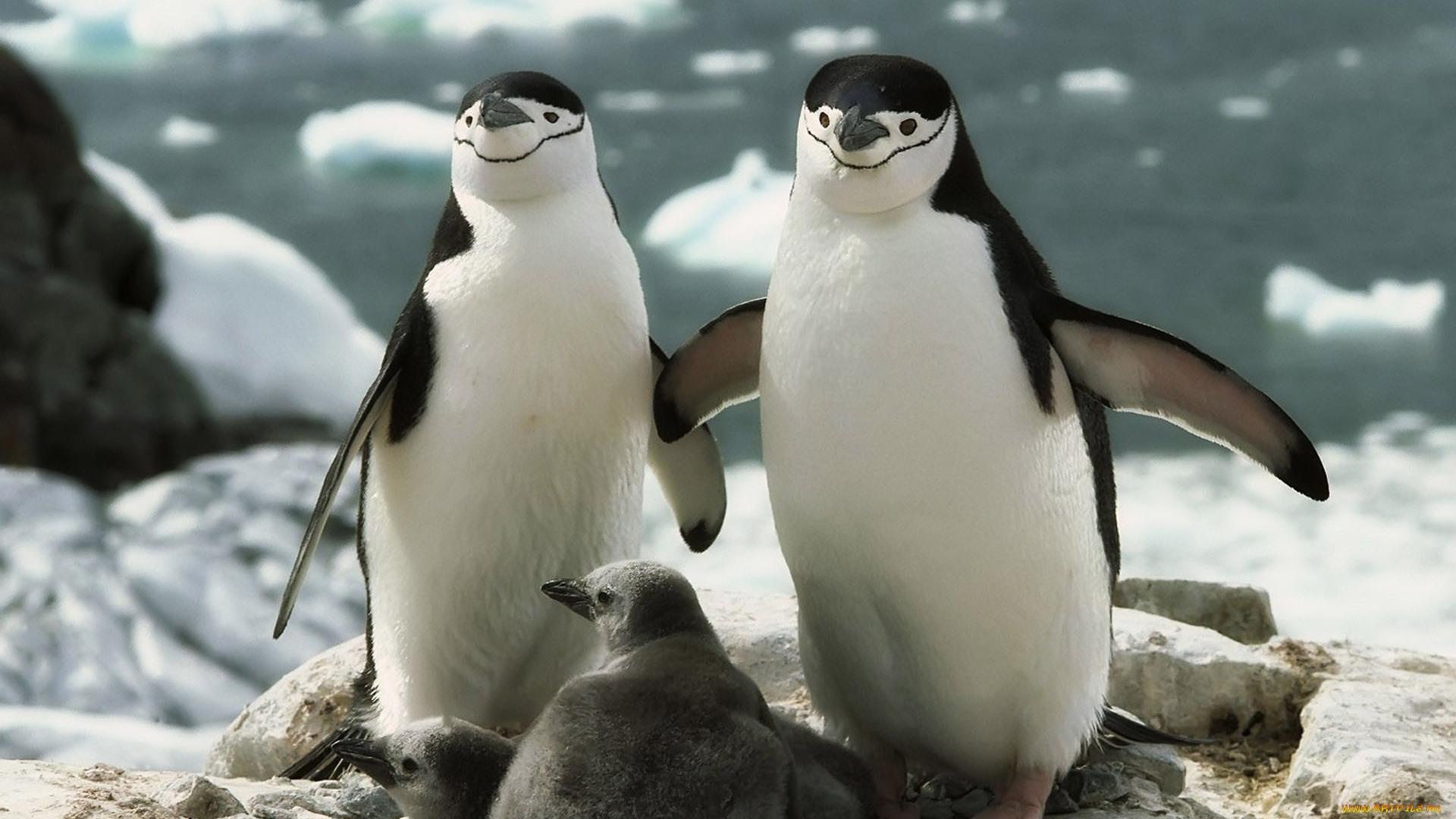 Картинка с пингвинами
