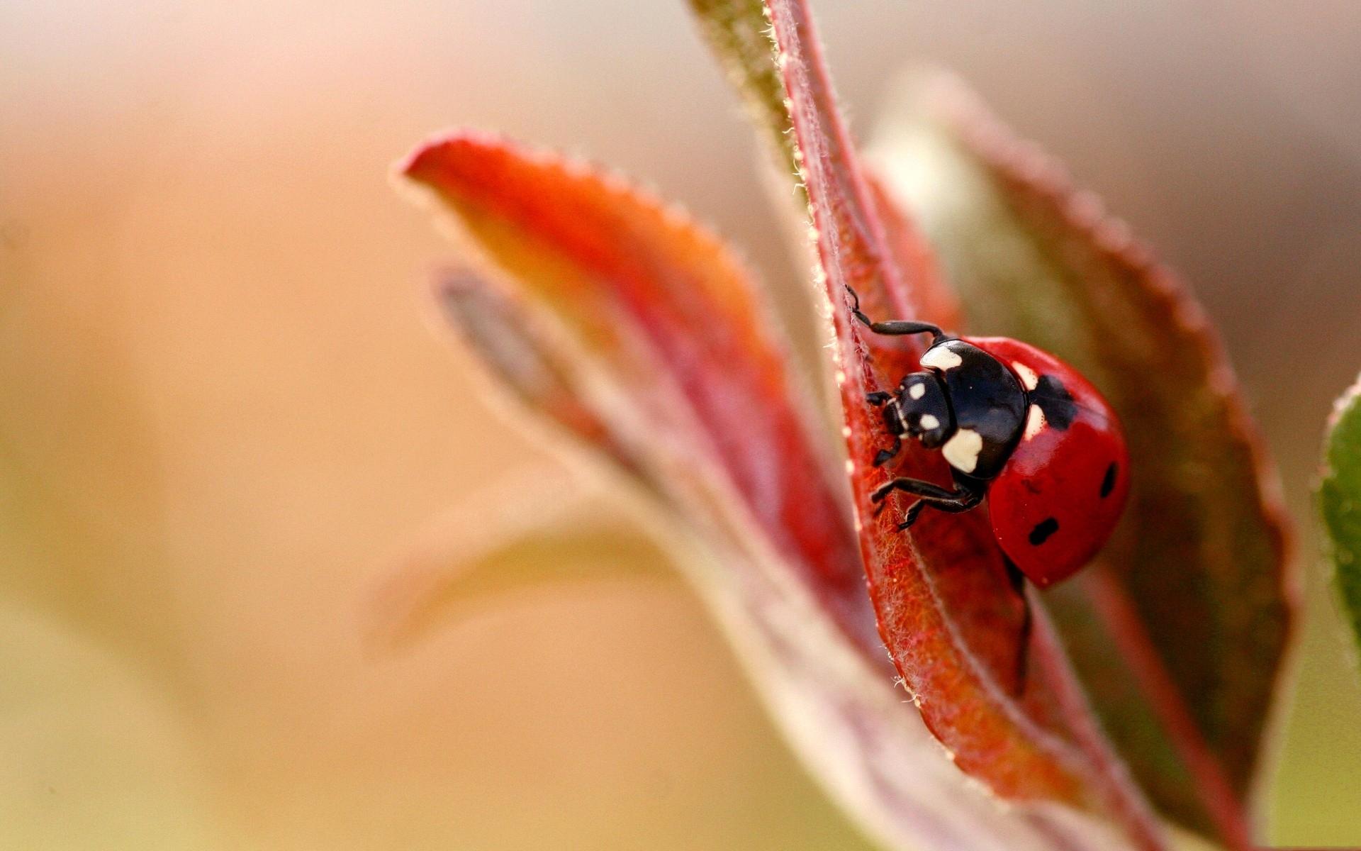 природа насекомое божья коровка цветок  № 3008127 бесплатно