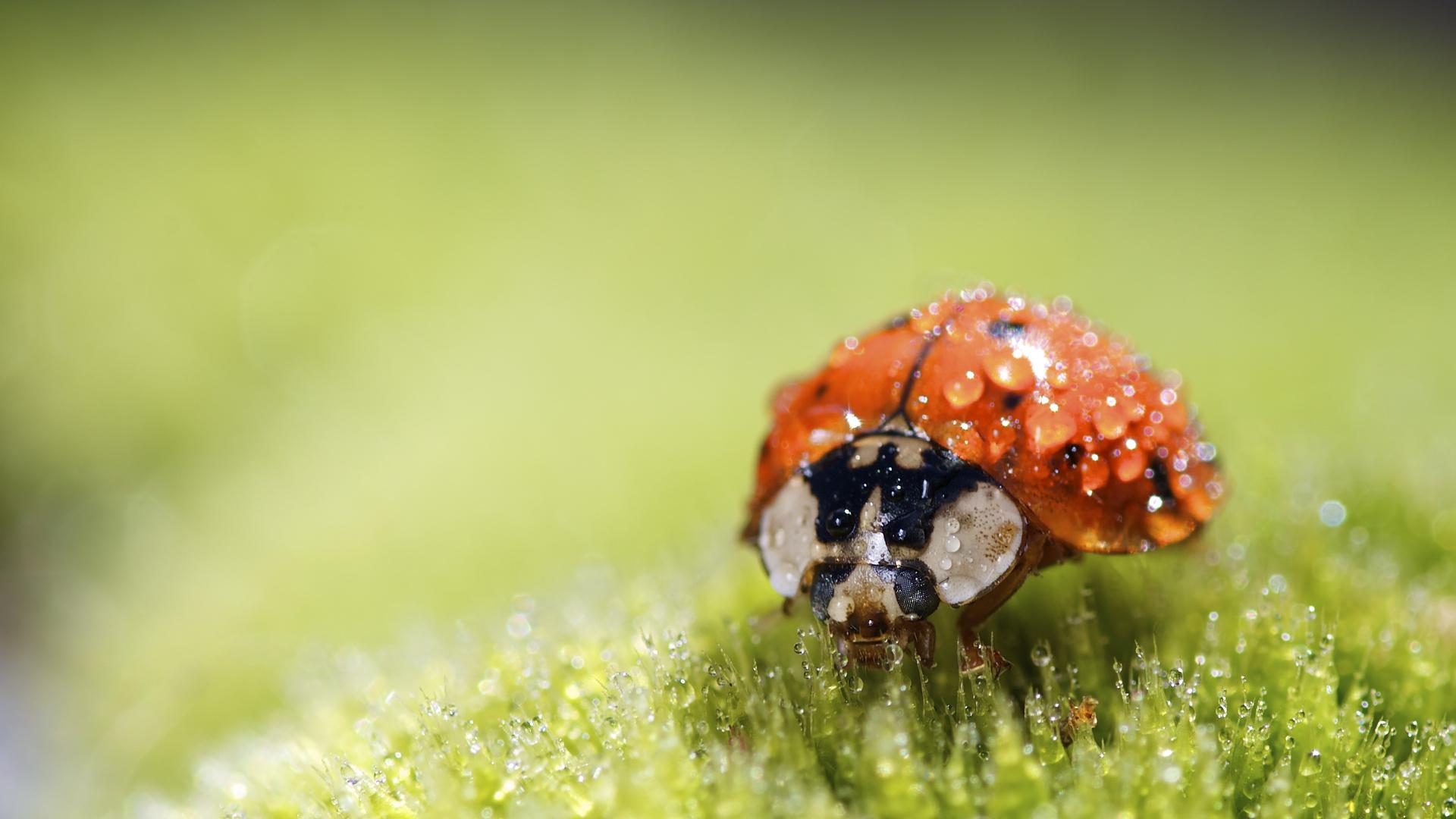 природа макро насекомое божья коровка цветы  № 3854276 без смс