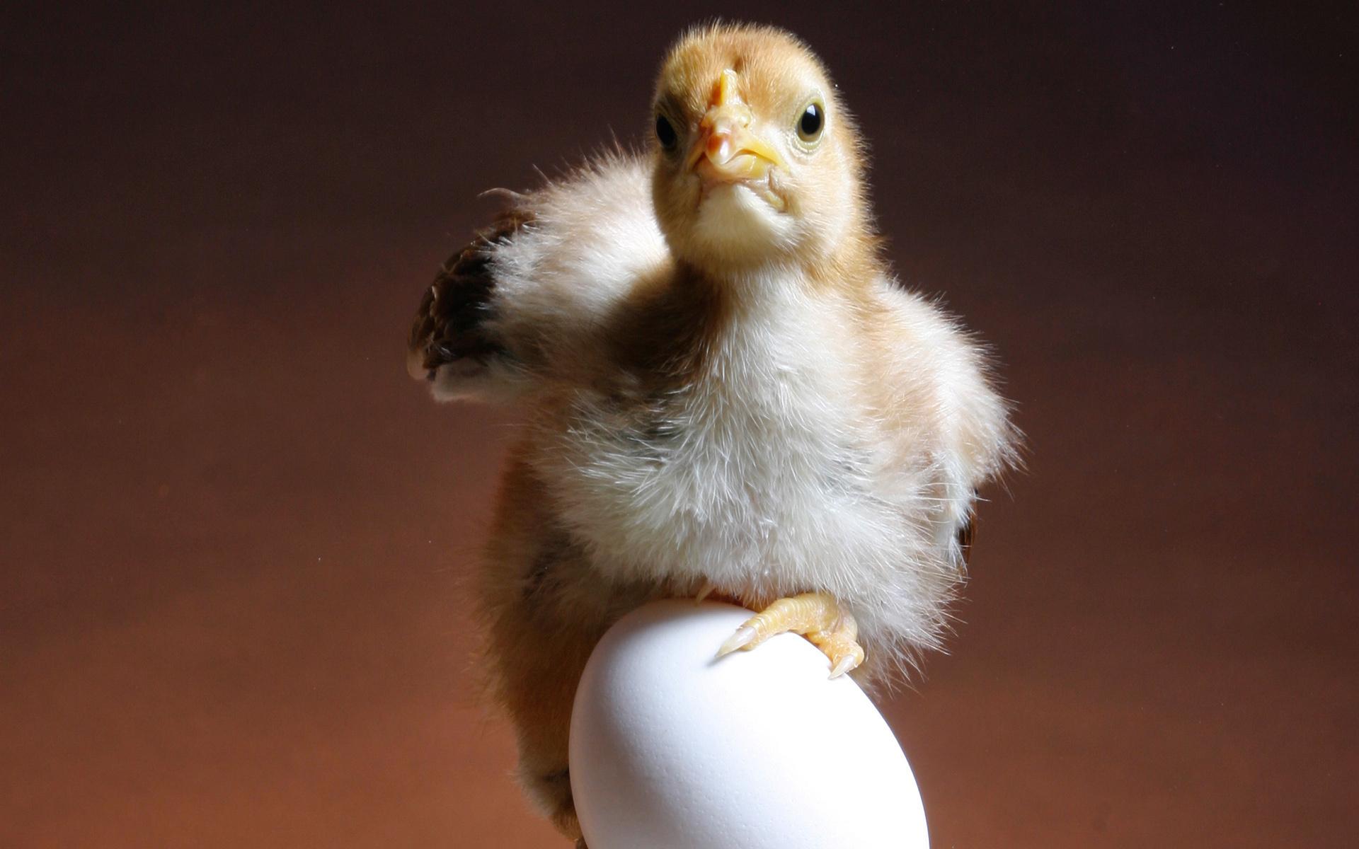 Днем рождения, картинки прикольные цыплята