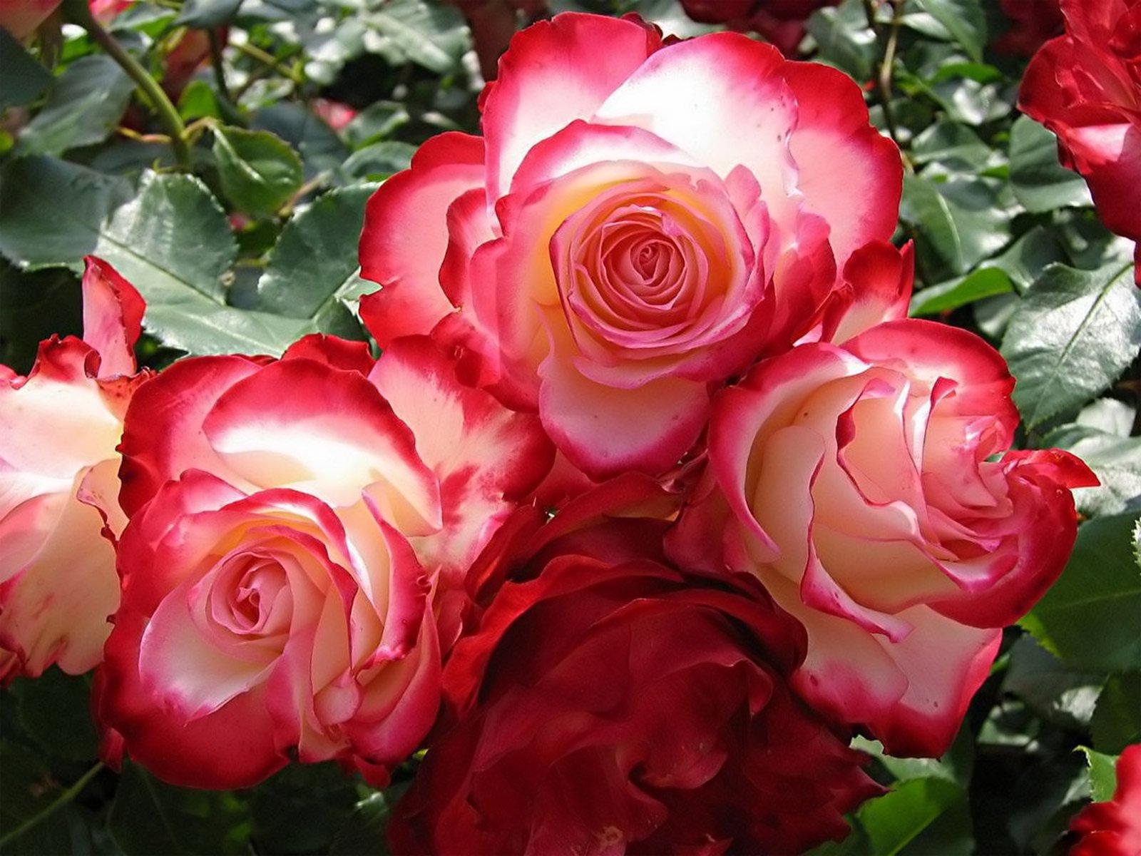Днем рождения, очень красивые картинки с розами