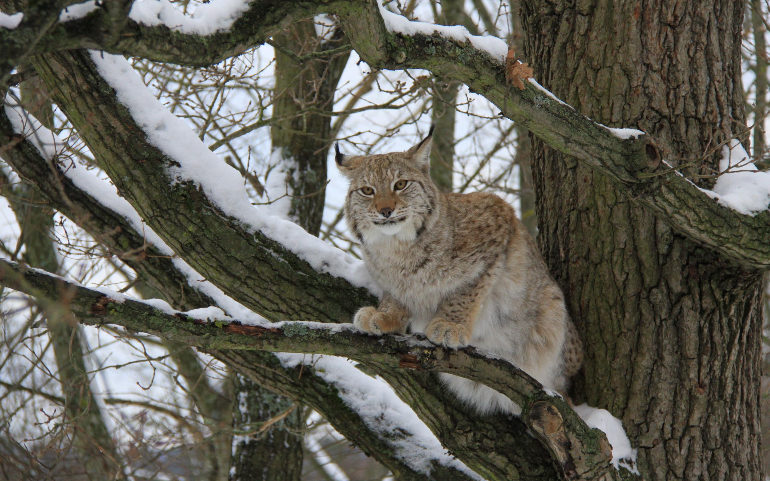 природа животные ветка деревья рысь nature animals branch trees lynx  № 559969  скачать