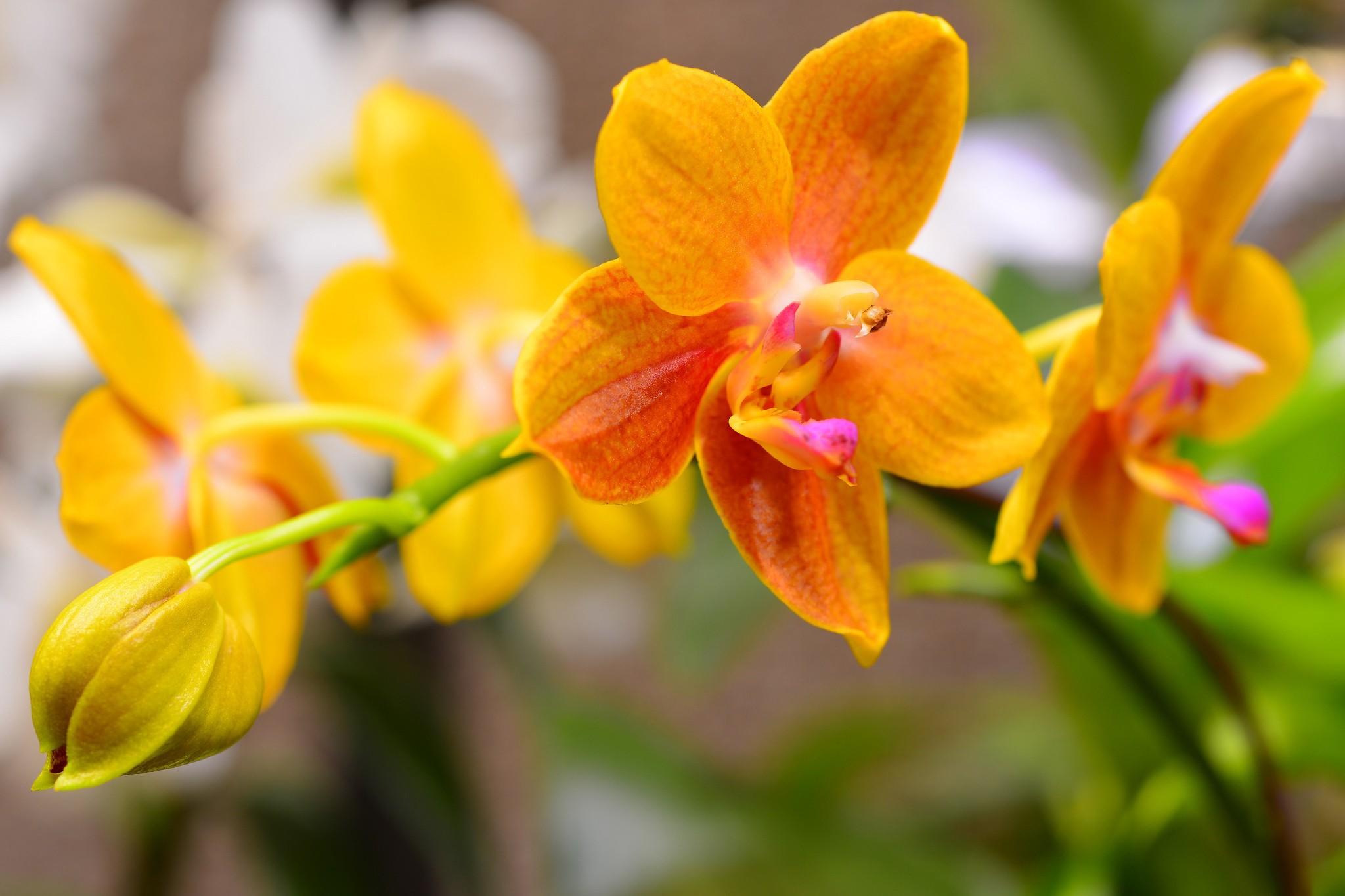 красивое фото желтых орхидей знают, что подводные